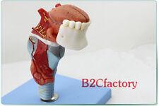 NEW Functional Medical Anatomical Human Larynx&Tongue + Teeth Model 18*6.5*10cm