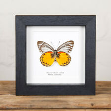 Delias Butterfly (Deli oraia lydia) Butterfly in Box Frame