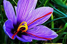 20 Saffron Crocus Corms - Crocus Sativus