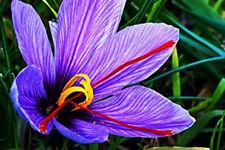 10 Saffron Crocus Corms - Crocus Sativus
