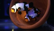 JerseyClowns * Black Ice Clownfish Aquacultured Nemo Live Fish Captive Bred