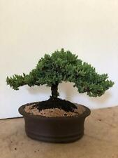 Juniper Bonsai Tree Medium Perfect For Beginners