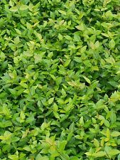 Asiatic Jasmine 250 Bare Root Plants Free Shipping