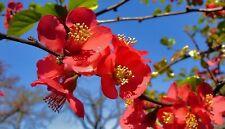 Tree Seeds Japanese Quince Chaenomeles japonica Bonsai