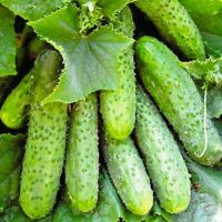 Seeds Cucumber Nezhin Pickling Vegetable Organic Heirloom Russian Ukraine