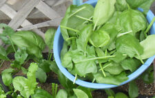 200+ Spinach Seeds Viroflay Spinach (Spinacia oleracea) Persia Vegetable USA