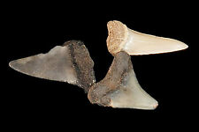 "Shark Tooth Fossils 1"" Set of 3 Rough Natural Minerals Rocks Display Specimen"