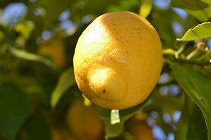 3 FRESH cuttings Lemon Tree Available cuttings tree