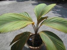 """STEVENSONIA BORSIGIANA - Plant - 15 cm(6"""") - Live starter"""