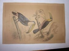 vintage Engraving LE TOUCAN A VENTRE ROUGE LE JOCO from Jacques Paris