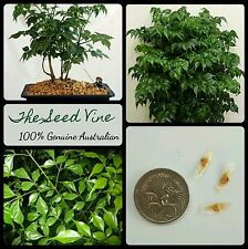 10+ CHINA DOLL TREE SEEDS (Radermachera sinica) Indoor Air Purifier Plant Home