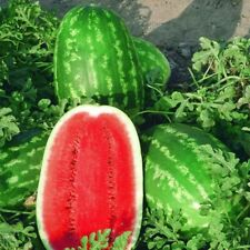 Seeds Watermelon Astrakhan Very Sweet Early NON GMO Fruit GardenOriginal Package