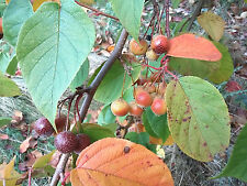 Yunnan Crabapple Malus yunnanensis small hardy tree, wildlife food, edible fruit