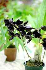 QOB Orchid Plant Black Swan Monnierara Millennium Magic 'Witchcraft' 55mmPOT x 2