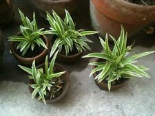 10 Spider Plant Babies Starters, Great Air Purifier! aka airplane plant