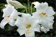 4 Pure White Lilium Asiatic Lily Mont Blanc Garden Summer Flower Bulb Corm