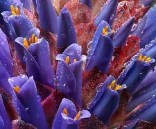 * Amazing Puya Venusta * Coastal Purple Puya * Bromeliad * 10 Seeds * Rare