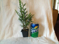 10 Green Giant Thuja 6-8 Inches Tall