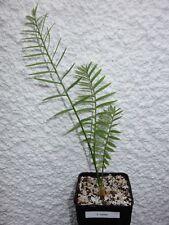 Encephalartos caffer 3cm Caudex, 3 Blätter  !!!!!!!!!!!!