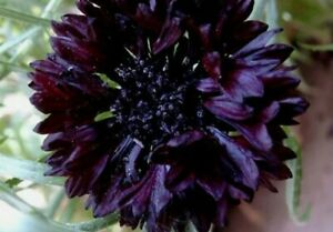 Black Ball Cornflower 50+ Seeds Outdoor Wild Garden Easy Flower Eco DIY Kids Uk