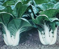 Organic Chinese Cabbage-''Canton Pak Choi'' vegetable seeds 50+ seeds (Bok Choy)