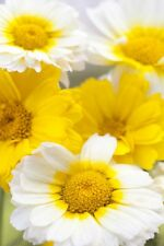 Garland or Crown Daisy Seed Mixed Double Flower Edible