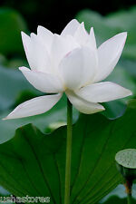 20 * White Lotus * Seeds Nelumbo nucifera Seeds Indian sacred lotus