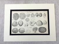 1880 Print Sea Urchin Marine Life Species Sponges Echinoidea 19th Century Art