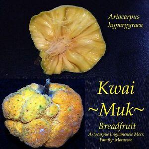 ~KWAI MUK~ Artocarpus hypargyraeus Rare Fruit Tree Live Medium size Potd Plant