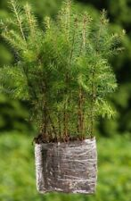 10 Stück Jungpflanzen Douglasie Pseudotsuga menziesi im Topf 25-50cm