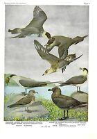 """1936 Vintage FUERTES BIRDS #4 """"3 JAEGERS & A SKUA"""" Color Art Plate Lithograph"""