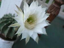 3 small THELOCACTUS SETISPINUS HAMATOCACTUS  CANDY BARREL CACTUS PLANT