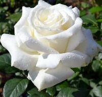 20 graines de Rosier Grimpant Blanc - 20x Climbing White Rose rosebush seeds