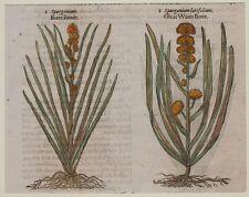 JOHN GERARD BOTANICA MATTHIOLI 1597 SPARGANIUM COLTELLACCIO MAGGIORE BOTANY