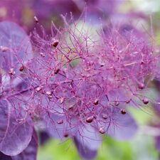 Rouge perückenstrauch 'Royal POIVRON POURPRE' - Cotinus coggygria 3 L POT