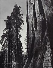 1950s Vintage ANSEL ADAMS Yosemite Valley Sequoia Tree Landscape Photo Art 12X16