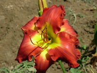 "TEXAS BIG RED - Daylily 1 Plant 7.5"" Blooms Fragrant Reblooming Perennial Flower"