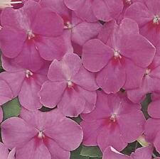 Impatiens Accent Series Rose Annual Seeds