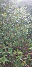 bacche di Mirto Sardo (BIOLOGICO VIENE RACOLTO SU IN MONTAGNA VEDI FOTO ) 5 KG