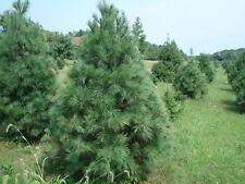 White Pine, Weymouth Pine, Soft Pine (Pinus strobus) 30 seeds