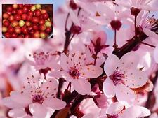 TWO fruit TREES!A Plum tree + A Cherry tree!Pot grown,pretty blossom/heavy crops