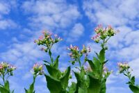 ☺1000 graines de tabac blond de Virginie / semences Virginia Gold