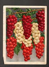1907 Vintage Chase Nursery Rochester NY  Currants Grapes a/s Color Illustrations