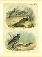 RUFFED GROUSE or PARTRIDGE WHITE-CROWNED or WHITE-HEADED PIGEON and GROUND DOVE