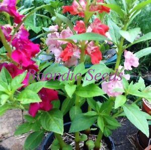 BALSAM / IMPATIENS 'Camellia Flowered Mix' 50 seeds double flower garden annual