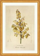 Magnificent Palm Lily Yucca gloriosa Agaves Gorgeous North America Redoute 032