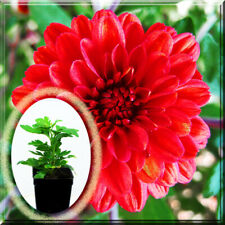 "3-6 Chrysanthemum - Aidden Red Fire Chrysanthe Mum 2.5"" Pot Live Plant"