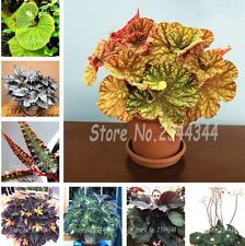 Office Desk Plants Begonia Flower Seeds colues seeds 100 Pcs
