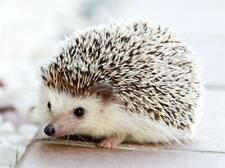 "Cute Little Hedgehog Pet Animal Gift Jigsaw Puzzle 285 Pieces 16.5""X12"" Piece"
