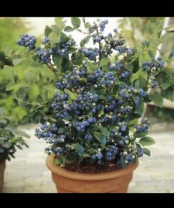 BLUECROP Blueberry Plant 1L Pot